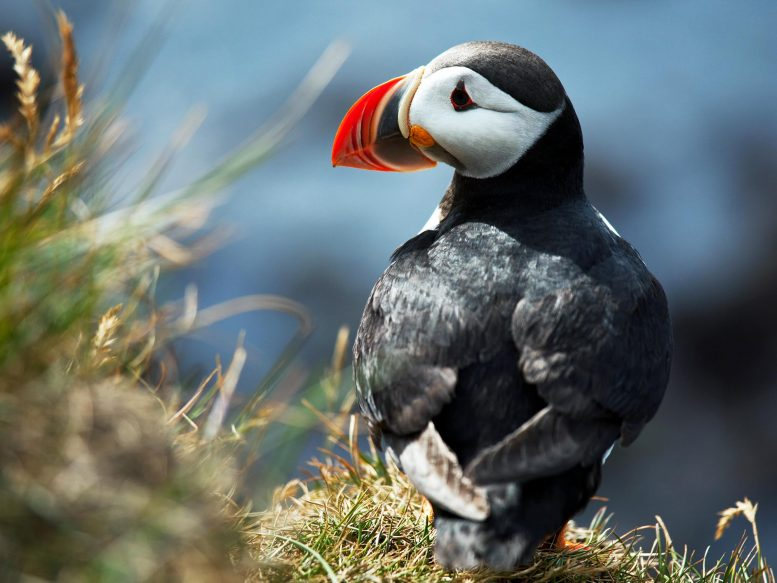 Spotting thousands of puffins